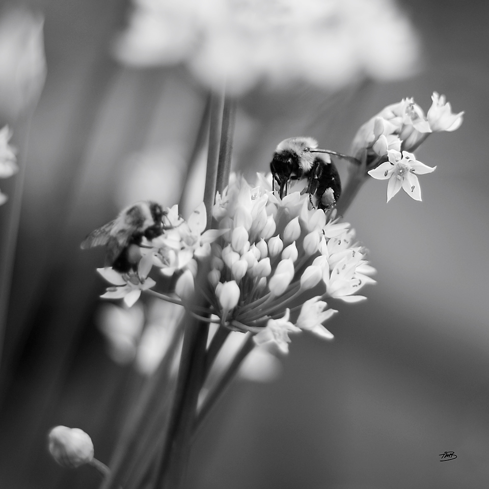 Bees on Chives by Tonya M. Brill, Artist and Photographer, Time Made Beautiful, Fine Art Print