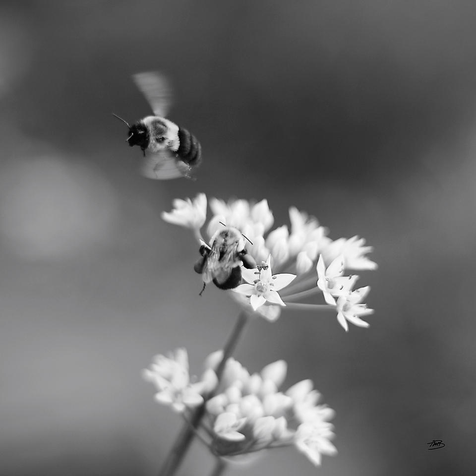 Bees on Chives by Tonya M. Brill, Artist and Photographer. Time Made Beautiful. Garlic Chives.