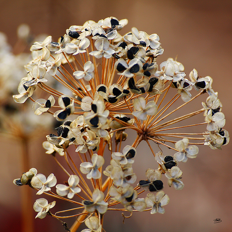 Chives Seed Flower Head, Fine Art Print, Hahnemuhle Torchon, Tonya M. Brill, Time Made Beautiful